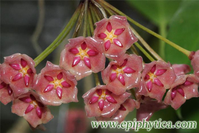 红布拉轩球兰 Hoya blashernaezii subs. siariae