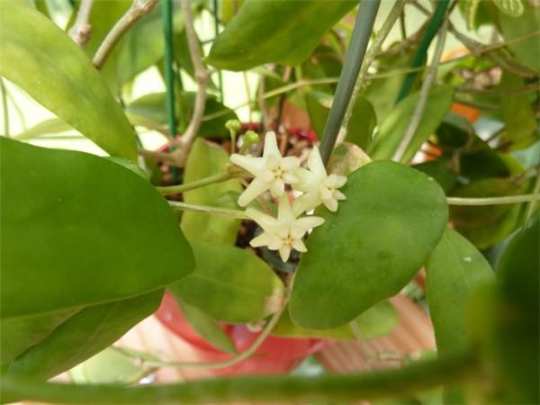 卡噶焰球兰 Hoya cagayanensis/Hoya pimenteliana