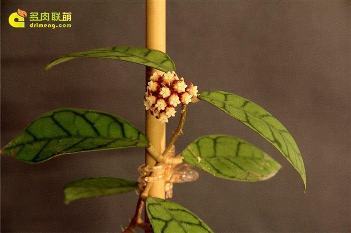 淡味球兰 Hoya callistophylla