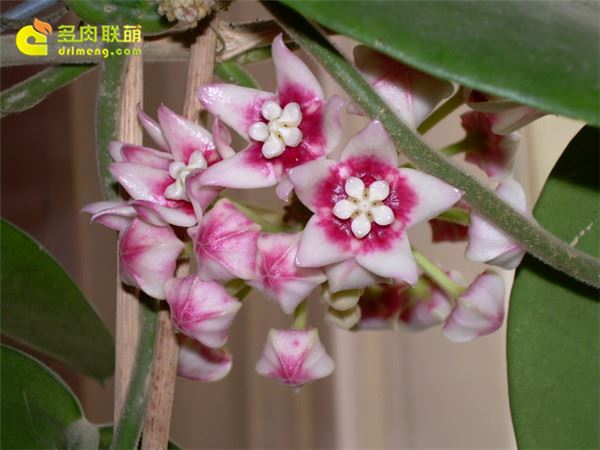 Hoya calycina subsp. calycina