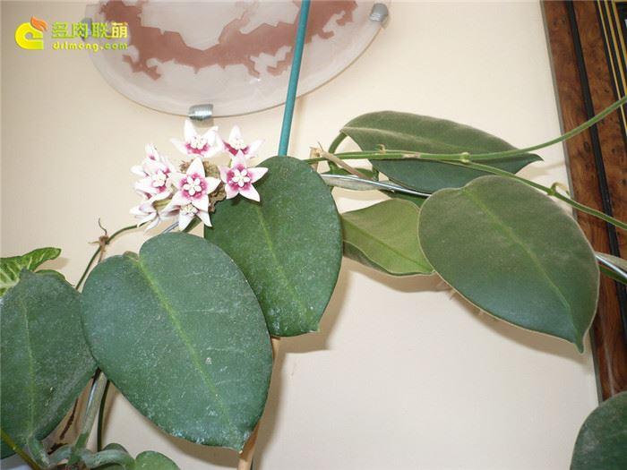 大萼球兰 Hoya calycina