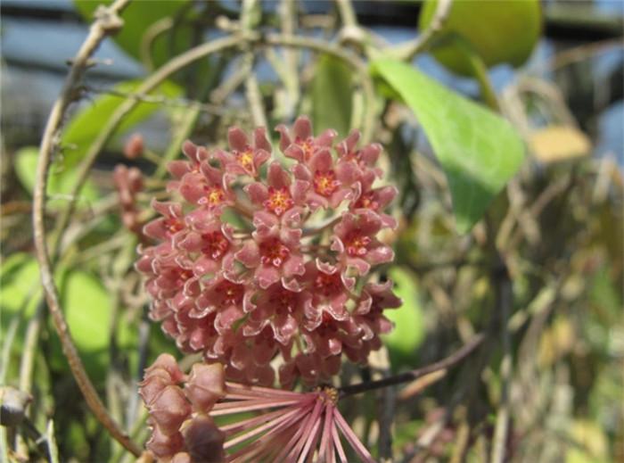 樟叶球兰 Hoya camphorifolia