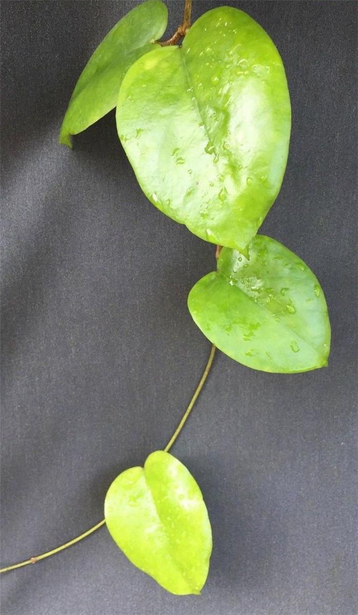 心状球兰 Hoya cardiophylla