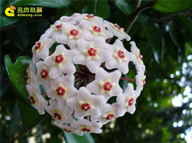 绿叶球兰白花