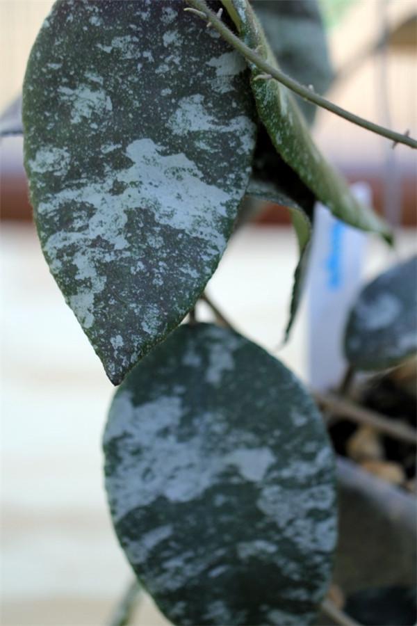 尾状球兰/青铜器球兰 Hoya caudata