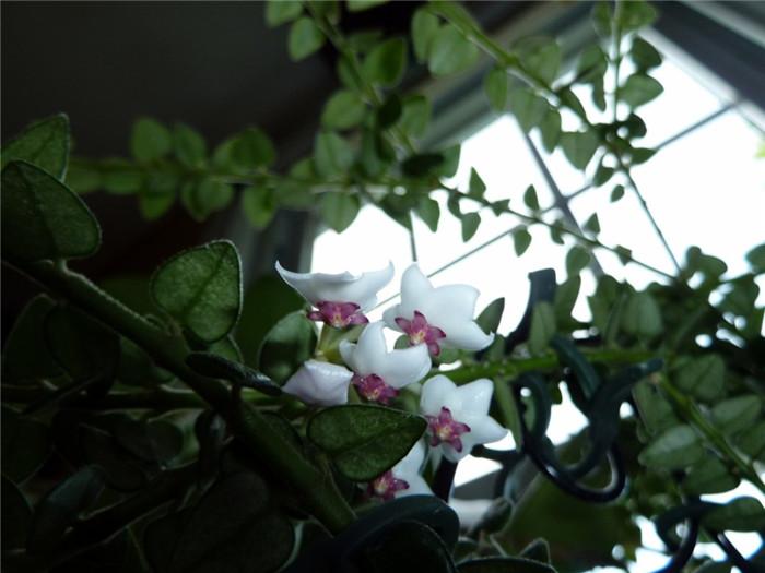 景洪球兰 Hoya chinghungensis