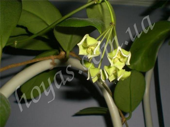 绿花球兰 Hoya chlorantha