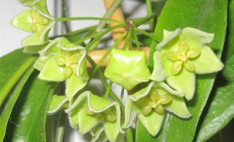 开绿色花的绿花球兰