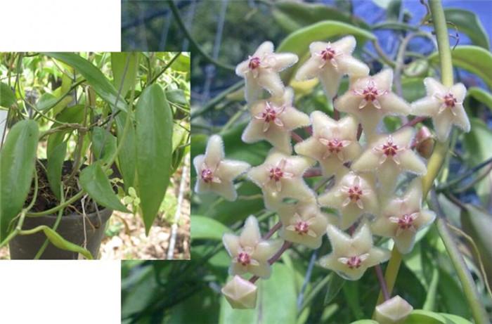 绿花杂交球兰 Hoya chlorantha var.tutuilensis