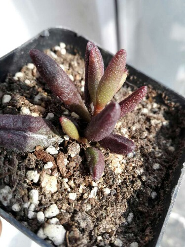 血红玛丽安 Adromischus marianae 'Red Mutation'
