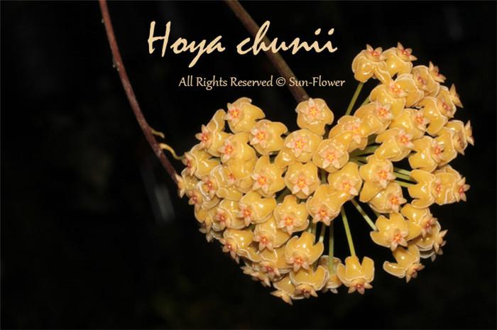 椰香球兰 Hoya chunii/Hoya chuniana