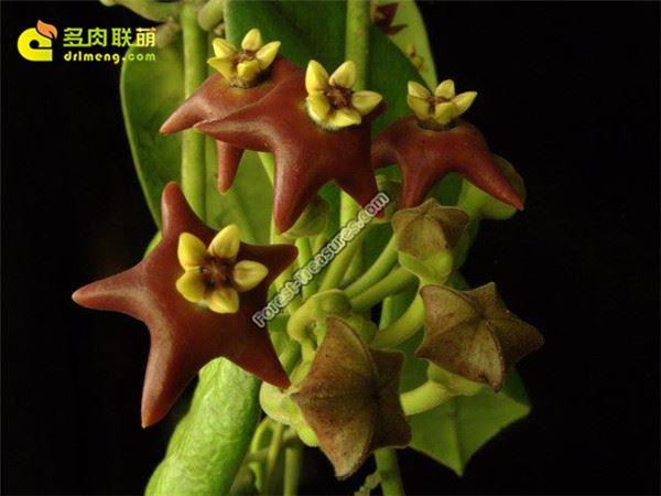纤毛球兰/黑花球兰 Hoya ciliata
