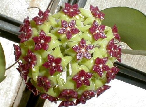 玉桂球兰 Hoya cinnamomifolia