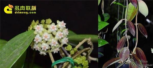 Hoya cinnamomifolia alba