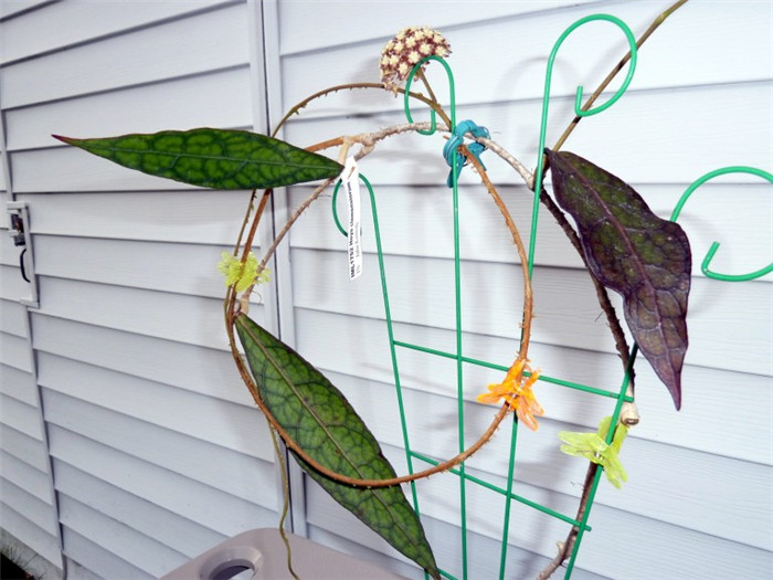反瓣球兰 Hoya clemensiorum
