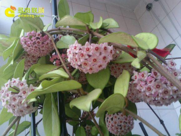 绿叶球兰粉花