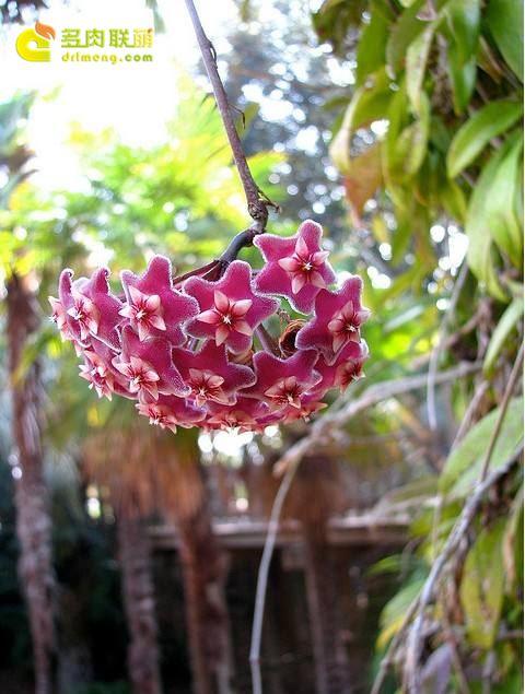 绿叶球兰红花