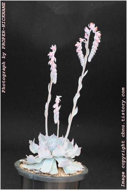 蓝色苍鹭开花