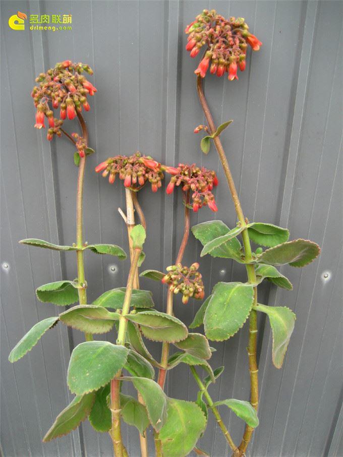 毛落地生根 Kalanchoe pubescens
