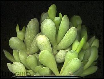 姆河天章 Adromischus cristatus var. mzimvubuensis