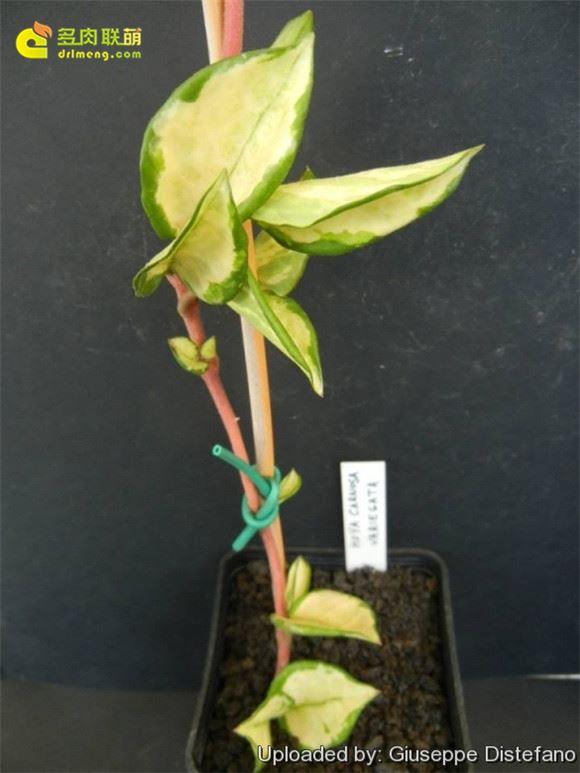 Hoya carnosa cv. Krimson Princess