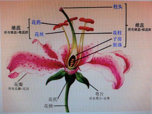 一般花朵结构的示意图解
