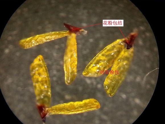 球兰花分离出的花粉包