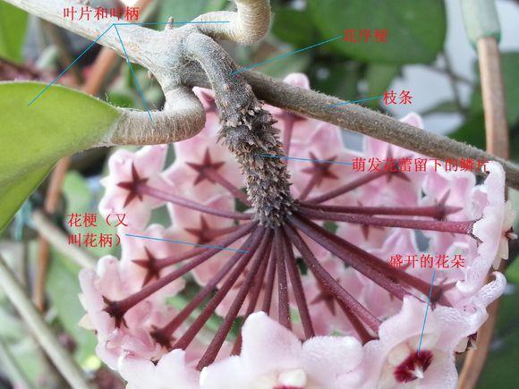 球兰的花序