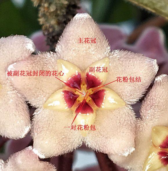 球兰花的正面结构