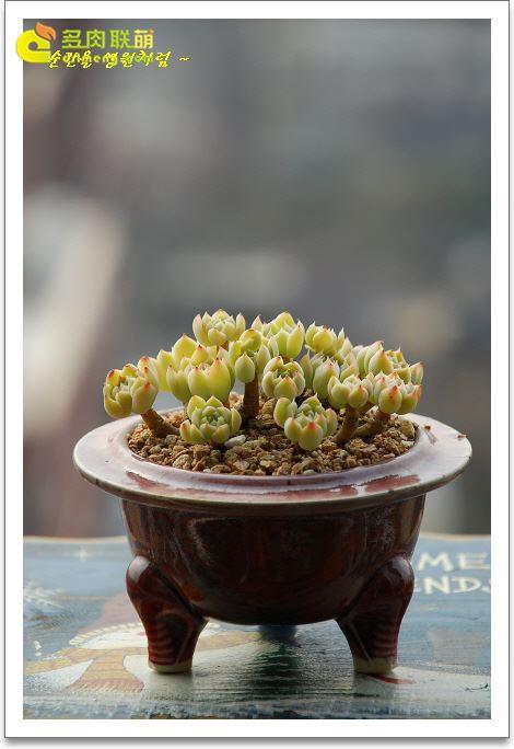 伊利亚 Echeveria cv. Iria