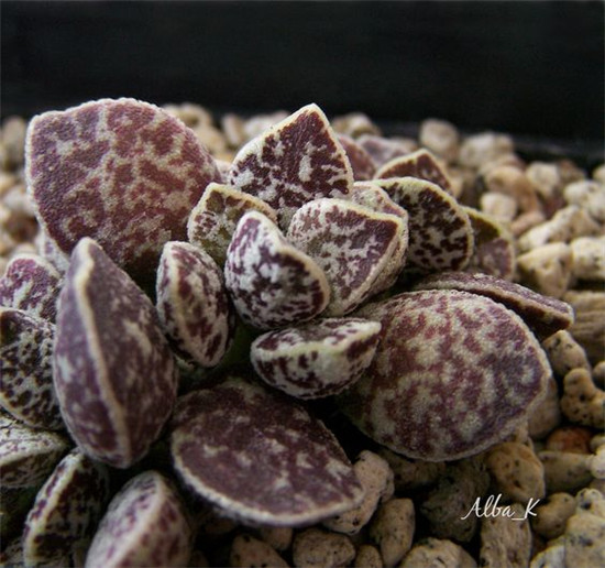 马丁水泡 Adromischus marianiae 'bryan makin'