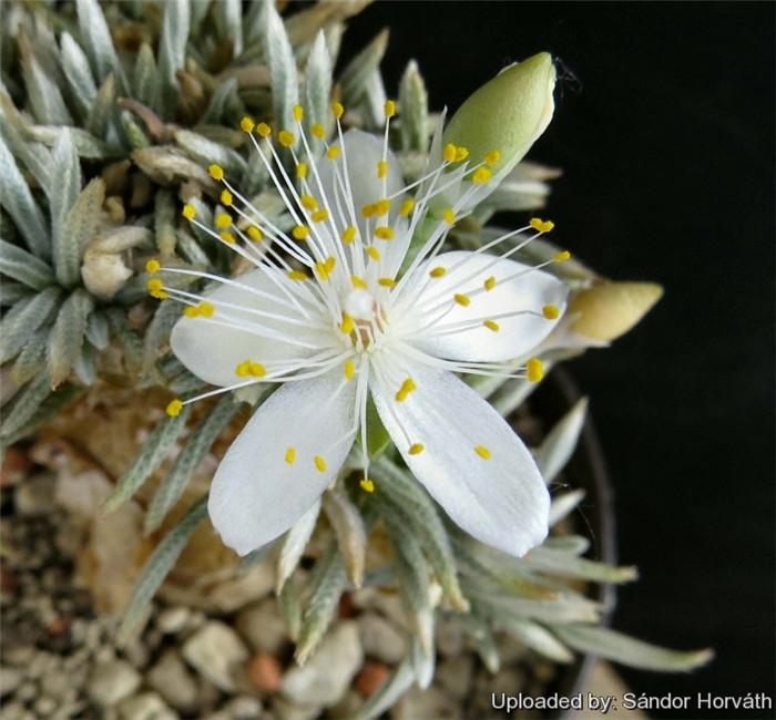 白花韧锦 Avonia quinaria ssp. alstonii
