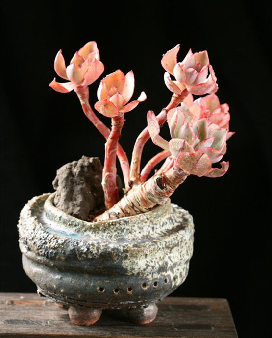 白玫瑰 Echeveria White Rose