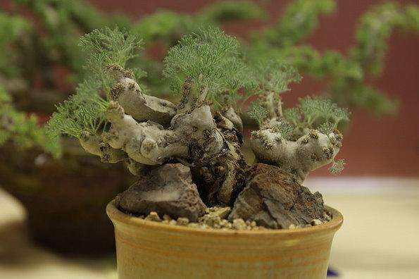 白皮月界 Sarcocaulon peniculatum