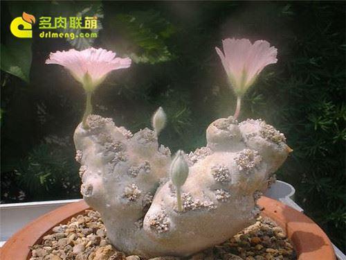 白皮月结开花