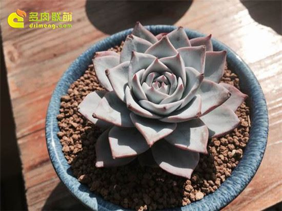 薄叶蓝鸟 Echeveria blue bird