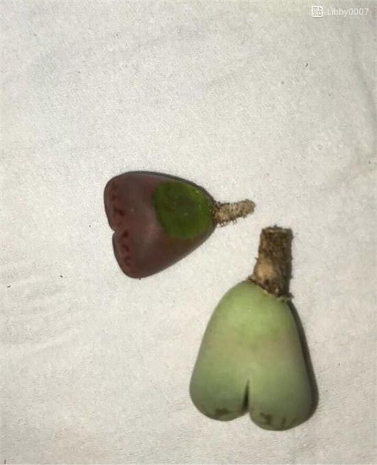 生石花受伤后处理