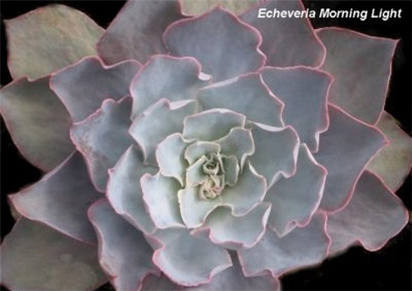 晨光 Echeveria  Morning Light