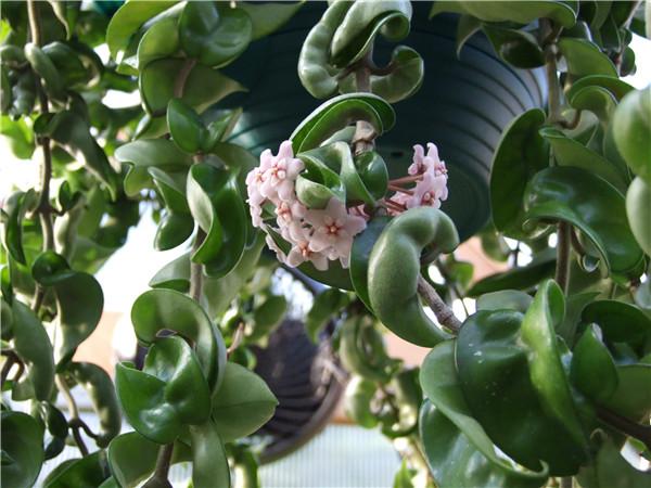 卷叶球兰 Hoya compacta