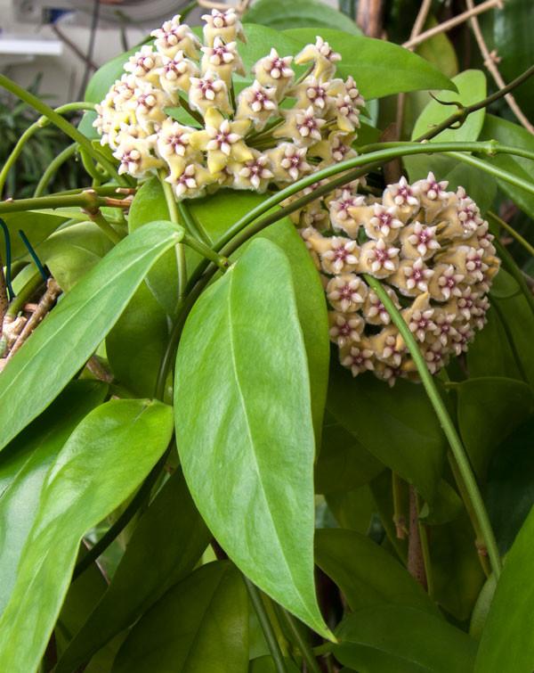 革叶球兰 Hoya coriacea