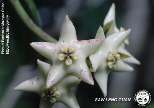 冠球兰 Hoya coronaria