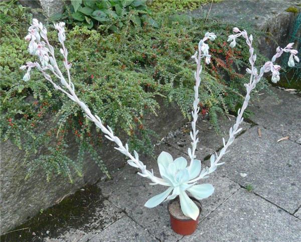 胭脂 Echeveria gila开花
