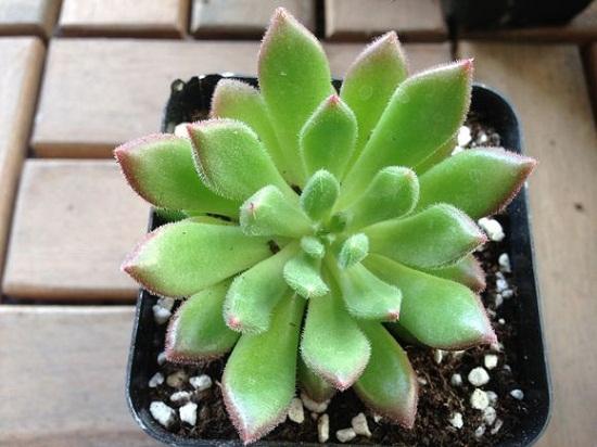 红唇 Echeveria  Bella
