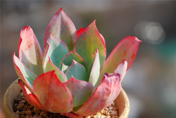 蓝光 Echeveria Blue light