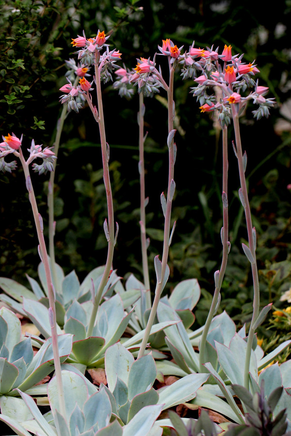 蓝光 Echeveria Blue light 开花