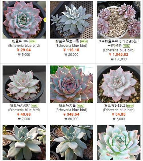 韩国X网出售的粉蓝鸟