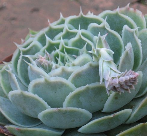 多肉植物蓝丝绒