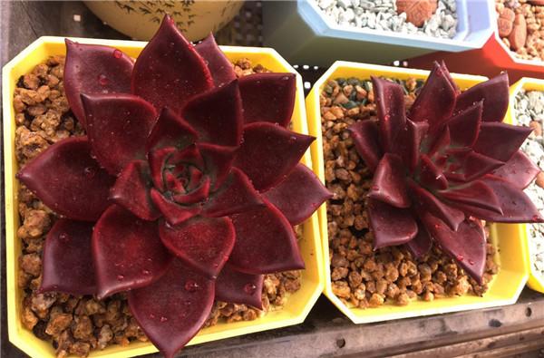 多肉植物罗宾