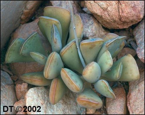 福饼 Adromischus Triflorus