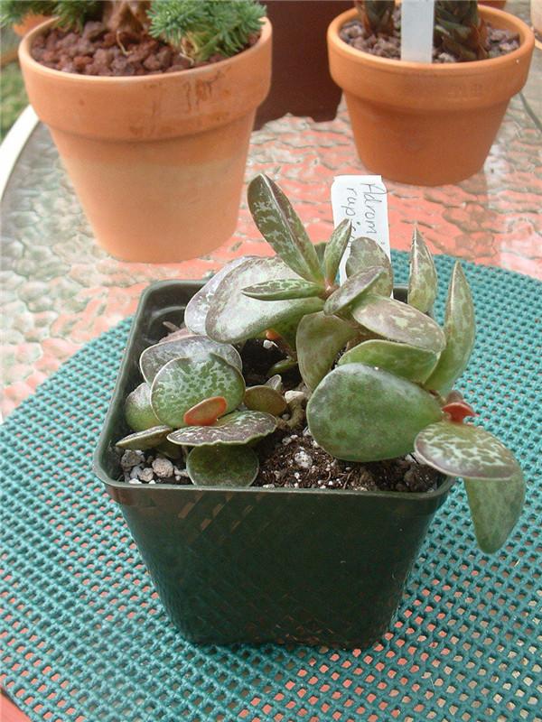 花叶扁天章 Adromischus trigynus